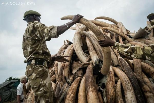 盜獵者每年屠殺超過3萬3千頭大象。肯亞軍方查緝非法盜獵象牙後,將其放火銷毀。(照片由國際動保組織WildAid野生救援提供)