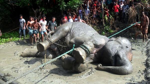 印度日前傳出一頭大象被洪水沖離邊境,漂泊到約1700公里外的孟加拉,雖然當局發現後立即提供協助,可惜最終仍回天乏術。(法新社)