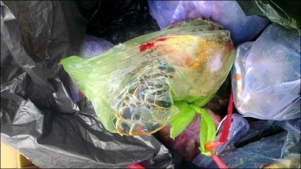 今年6月2日網友拍下海龜屍體的照片,踢爆澎湖吉貝消防隊員疑似向漁民購買綠蠵龜進補。(圖擷自PTT)