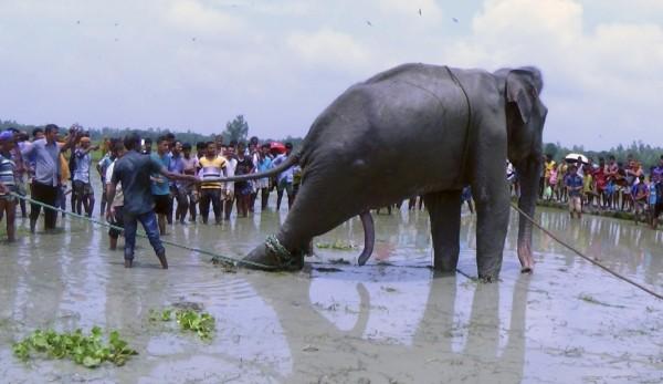 印度日前傳出一頭大象被洪水沖離邊境,漂泊到約1700公里外的孟加拉,雖然當局發現後立即提供協助,可惜最終仍回天乏術。(美聯社)