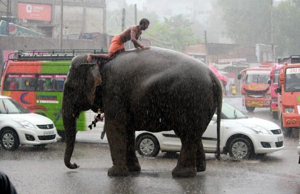 圖為暴雨中跑到市區的另一頭大象。(歐新社)