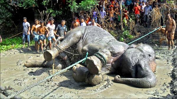 被命名為「孟加拉英雄」的大象,最終仍壽終正寢。(法新社)
