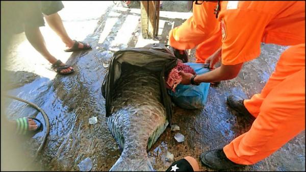 海巡人員在周男家中起獲已死亡的隆頭鸚哥魚體,訊後,依違反保育法函送法辦。(記者陳賢義翻攝)