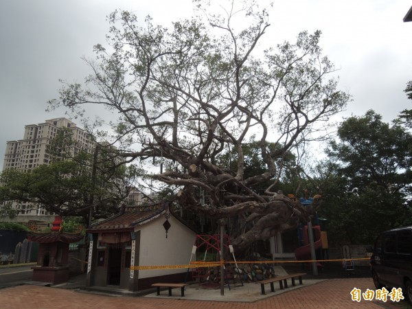 新竹縣竹北市隘口里廣福宮的2棵老榕樹,嚴重落葉日漸衰敗,但市公所等相關單位現勘近1年卻未見搶救,引發地方批評。(記者廖雪茹攝)