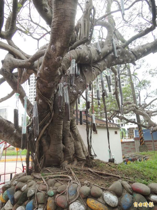 竹北市隘口里的老榕樹感染嚴重褐根病,廠商已著手培養新的根系,之後將施作外科手術,降低種植高度,改善生長環境。(記者廖雪茹攝)
