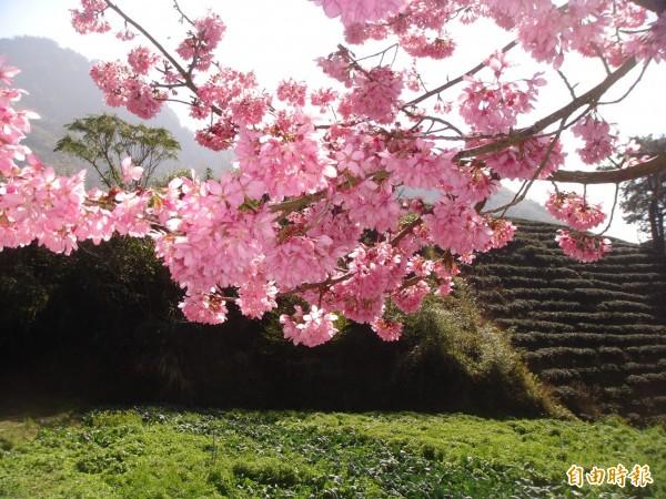 圖為古坑草嶺、石壁櫻花盛開時。(資料照,記者黃淑莉攝)