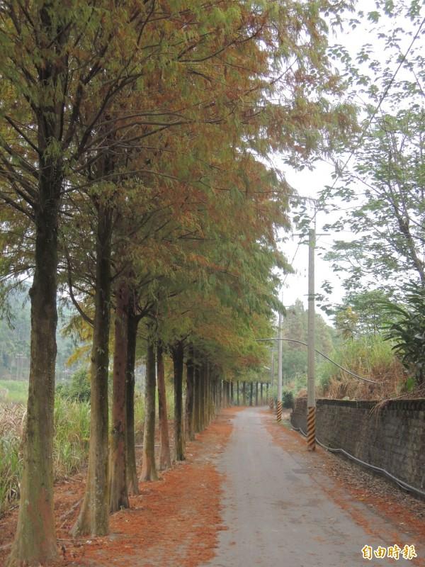位在光山河濱親水區旁的落羽松步道,一整排落羽松隨著四季變化有不同景緻。(資料照,記者黃淑莉)