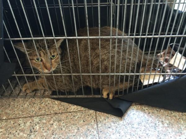 受虐虎斑貓咪七月四日消失,一週後再被發現時,尾巴潰爛、尾椎斷裂,自行大小便困難。(動保處提供)