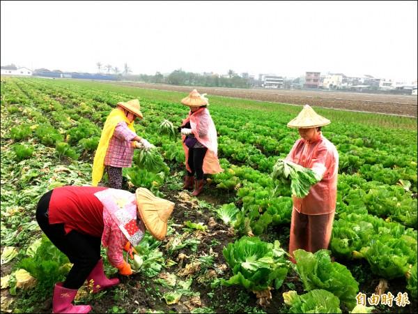 縣內季節性作物需要大量農工。(記者黃淑莉攝)