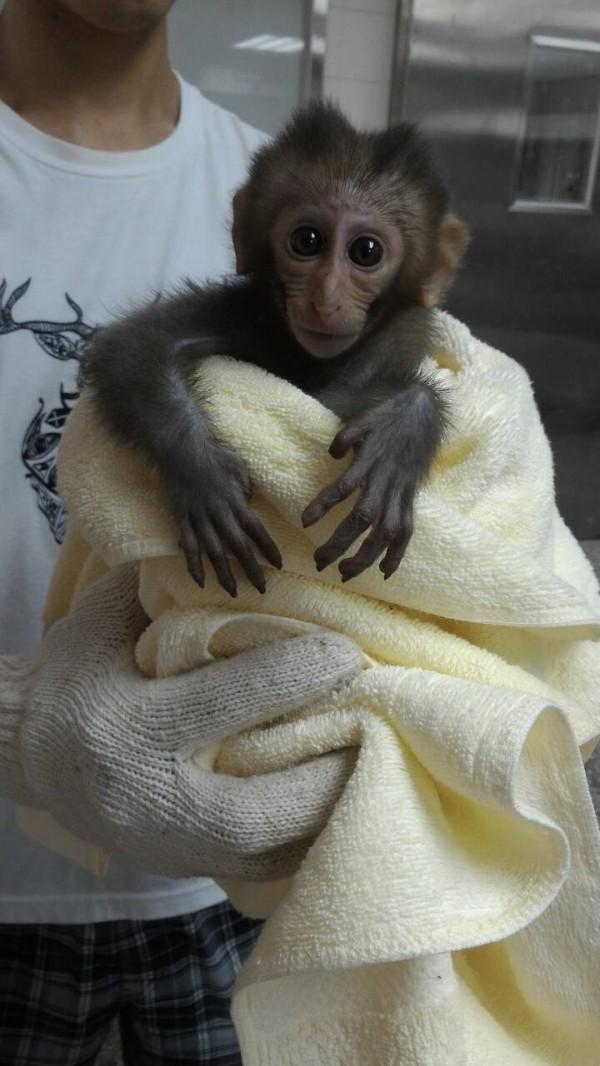 一隻幼猴在進行救援時尚有生命跡象。(記者蔡清華翻攝)