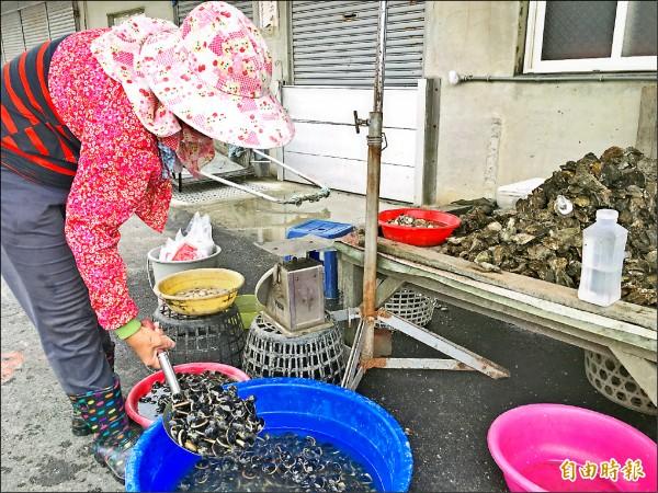 沿海文蛤暴斃情況嚴重,減產超過五成,產地批發每台斤已漲至六、七十元。(記者黃淑莉攝)