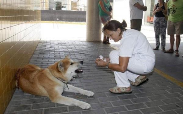 西班牙的兩歲狗狗「瑪亞」(Maya),為了等候在醫院動手術的女主人,已經在門外守了6天6夜。(圖擷自《每日電訊報》)