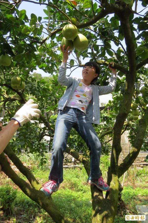 基隆市產發處4月推出認養柚樹活動,因為無颱風攪局,生長順利,柚樹結實纍纍,小朋友到園區採柚興奮不已。(記者俞肇福攝)