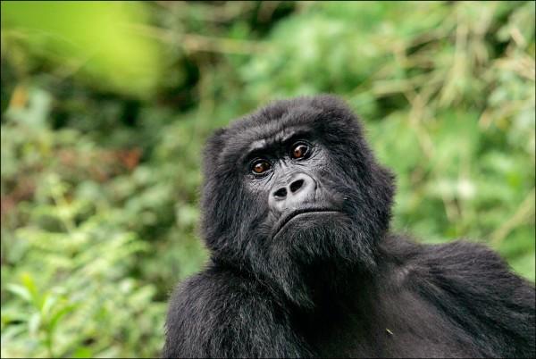 國際自然保育聯盟發佈最新紅色名錄指出,東部大猩猩主要因人為因素導致數量銳減,被歸類為嚴重瀕絕物種。圖為非洲國家盧安達魯亨蓋里(Ruhengeri)火山國家公園的大猩猩。(美聯社檔案照)