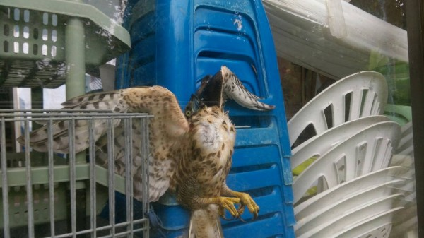 李冰丹在自家倉庫外發現受困的鳳頭蒼鷹,只見牠展翅卡住、一臉受驚的表情,讓李冰丹忍不住笑彎腰。(記者王善嬿翻攝)