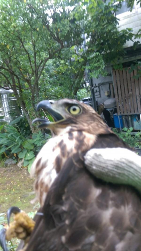 李冰丹戴手套將落難鳳頭蒼鷹抱著到屋外野放,幸好未發現受傷情形。(記者王善嬿翻攝)