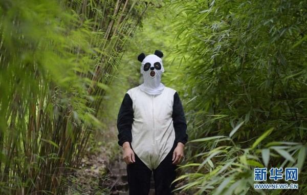 工作人員化身「熊貓人」將可避免幼獸對人類及人工飼養環境產生依賴,有利野放動作的進行。(擷取自《新華網》)