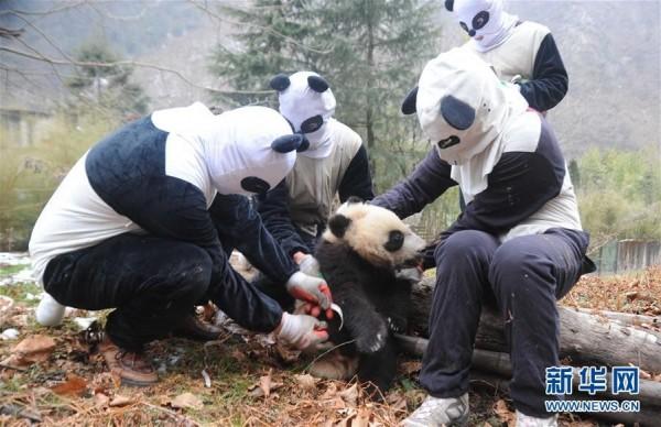 國際自然保護聯盟日前宣布大熊貓脫離瀕危名單,圖為復育員進行野放訓練。(擷取自《新華網》)