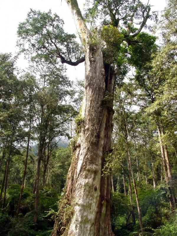 溪頭地標紅檜神木未倒塌前英姿。(溪頭自然教育園區提供)