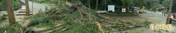 溪頭千年神木倒塌後擋在神木區林道,園區將切除樹梢清出車道,未來樹身將原地保留。(記者劉濱銓攝)