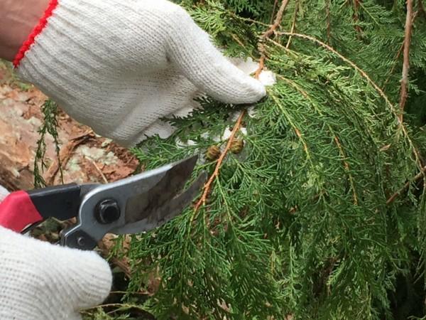 溪頭千年神木倒下,園區為延續神木精神,特別將枝條剪下復育扦插。(溪頭自然教育園區提供)