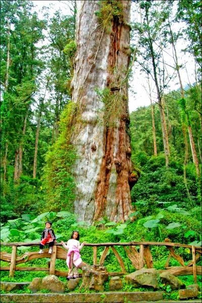 溪頭地標紅檜無預警倒塌壓傷遊客。圖為神木未倒塌前外觀。(溪頭自然教育園區提供)