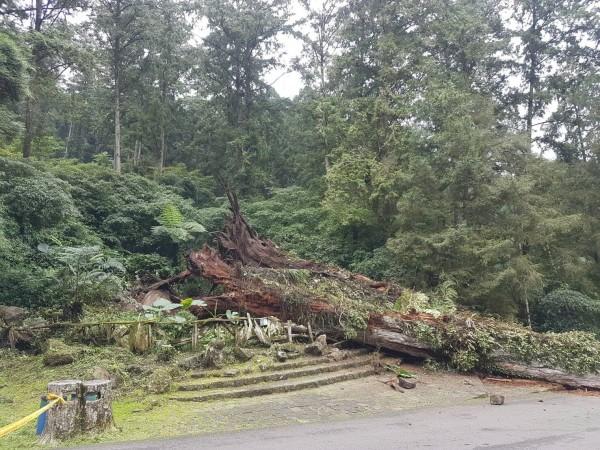 溪頭自然教育園區昨日發生神木倒塌壓傷遊客意外。(資料照,記者劉濱銓翻攝)