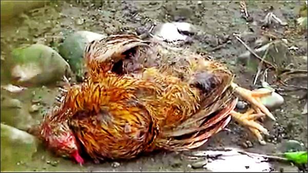 鳥類籠區地上有未清理的死鳥。(擷取台灣動物社會研究會影片)