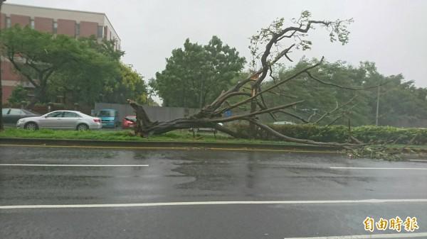 強颱帶來狂風,將路樹吹倒、連根拔起。(記者林孟婷攝)