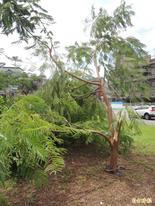 市長賴清德與台南老樹節促進會共植的鳳凰樹小樹受損,農業局將醫治。(記者洪瑞琴攝)