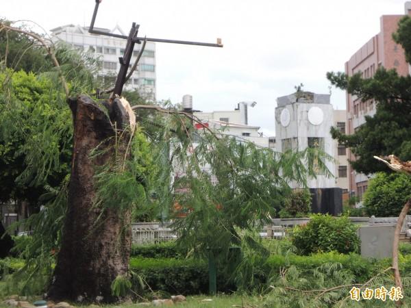 台南「鳳凰城」最具代表性的湯德章紀念公園鳳凰老樹,恐怕回天乏術。(記者洪瑞琴攝)