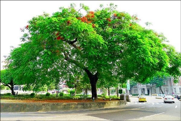 湯德章紀念公園鳳凰老樹昔日美景不在。(圖由晁瑞光提供)