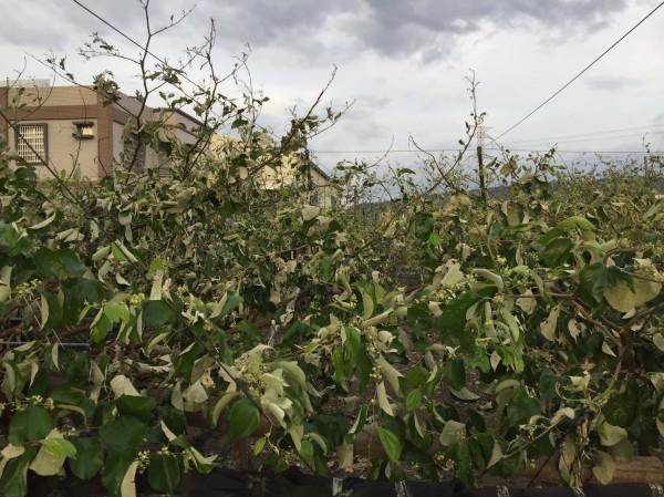 高雄阿蓮正值開花期的棗子,枝葉因風災受損,已開始乾枯。(圖由農糧署提供)