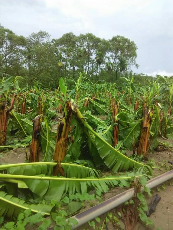 高雄旗山香蕉攔腰折斷。(圖由農糧署提供)