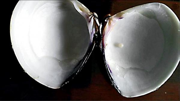 蛤蜊裡面生成一顆直徑約2毫米的白色硬物,形似小珍珠。(記者丁偉杰翻攝)