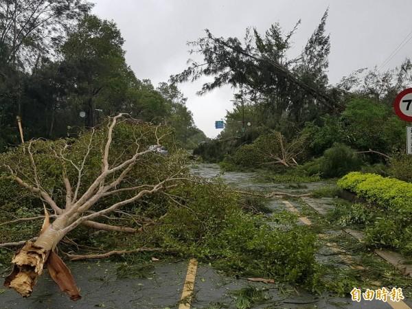 農委會指出,金門被吹倒的500萬棵樹,包含綠籬也就是小花小草等;也有網友以數學的方式估算,分析後證實,金門路倒樹木「500萬棵」的確是有可能的。(記者吳正庭攝)