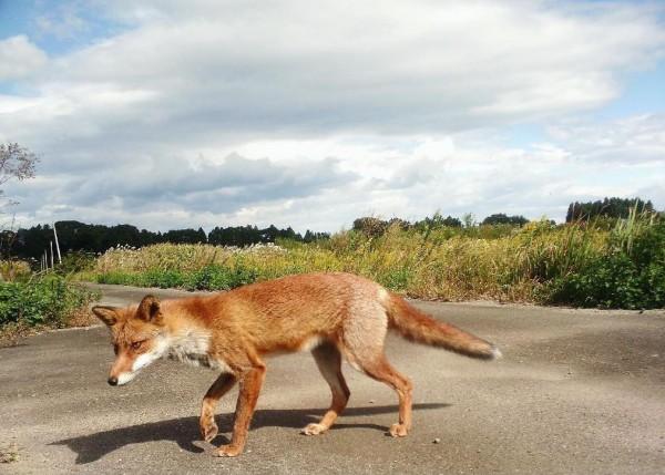 設置的攝影機拍到許多野生動物出現在福島核災區。(產經新聞)