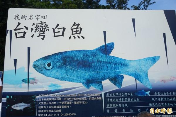 市府豎立在食水嵙溪旁的台灣白魚公告看板。(記者歐素美攝)