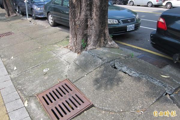 人行道上原先黑板樹浮根破壞鋪面的情形,將一併移植改種桂花改善。(記者何宗翰攝)