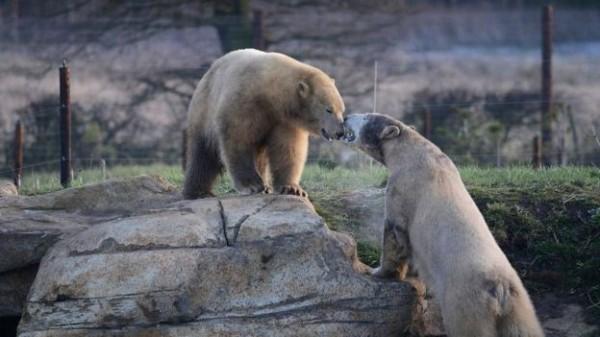 若正佳廣場海洋館同意,披薩就能住在有兩座湖泊的10公畝大園地,且還有4頭北極熊在園內生活。(圖擷自BBC)