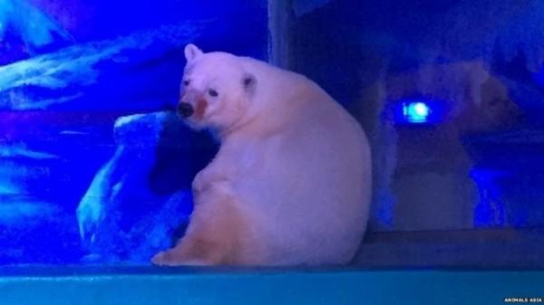 有外媒報導指出,英國一野生動物園已出面聯繫,希望能收養「世界上最悲傷的北極熊」。(圖擷自BBC)