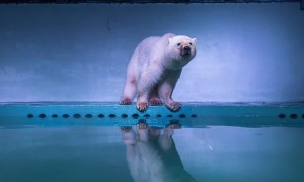 英國約克郡野生公園近日已聯繫廣州正佳廣場海洋館,希望能收養「披薩」,把牠安置在一個更好的棲息環境。(圖擷自theguardian.com)