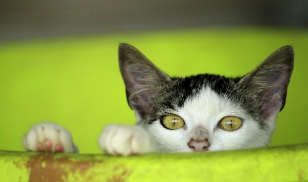 專家發現,貓咪追捕鳥類等動物,還會傳播病菌,估計已造成63種動物絕種。(路透)