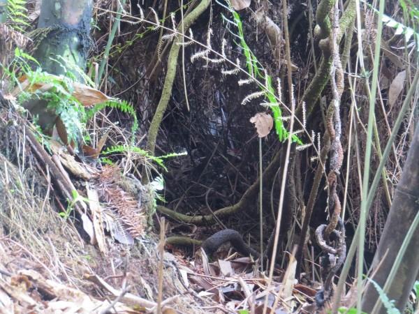 好貼心!南投林管處在野溪整治工程為山豬留通道。(南投林管處提供)