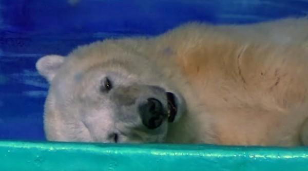 中國廣州「正佳廣場海洋館」一隻名叫「披薩」的北極熊,被豢養在內,神情哀傷倒臥在地上,被網友們稱為「世界上最悲傷的北極熊」。(圖擷自臉書)