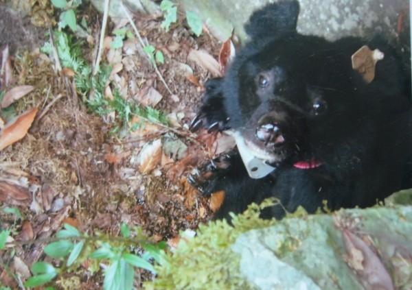 黑熊Kaying(阿美族語意思『小姐』),在牠「熊生」最後棲身的岩壁凹處,抬頭看著踩在牠上方2公尺岩壁的林家洋,眼角似乎還有淚光。(林家洋提供)