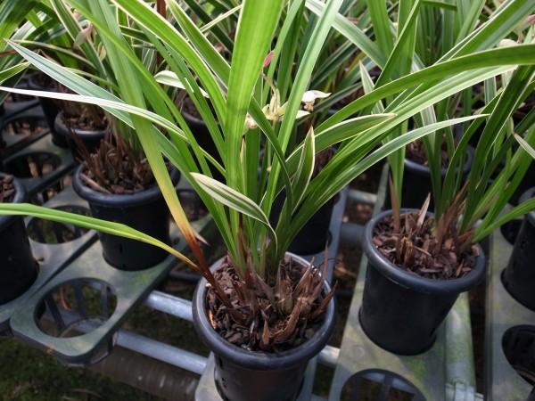 圖為潛伏在國蘭植株上的鐮孢菌,進入人工栽培後發生新芽枯死、根部腐敗等損失。(圖由農委會提供)