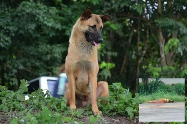 泰國一隻狗狗一年前疑似遭主人拋棄,接著便一直守候於原地等候主人回來接牠,最終卻傳出遭汽車撞死。(合成圖,擷取自英國《太陽報》)