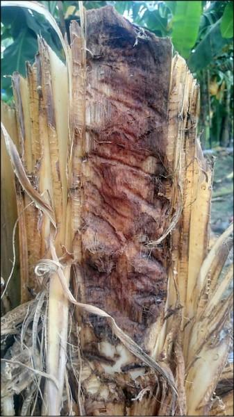 香蕉樹疑遭野山豬攔腰折斷、啃食。(葉姓民眾提供)
