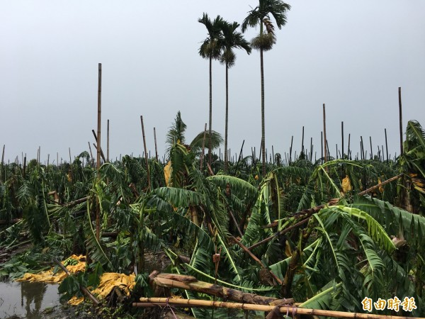 不敵梅姬挾帶的狂風吹襲,古坑香蕉整園攔腰折斷。(記者黃淑莉攝)